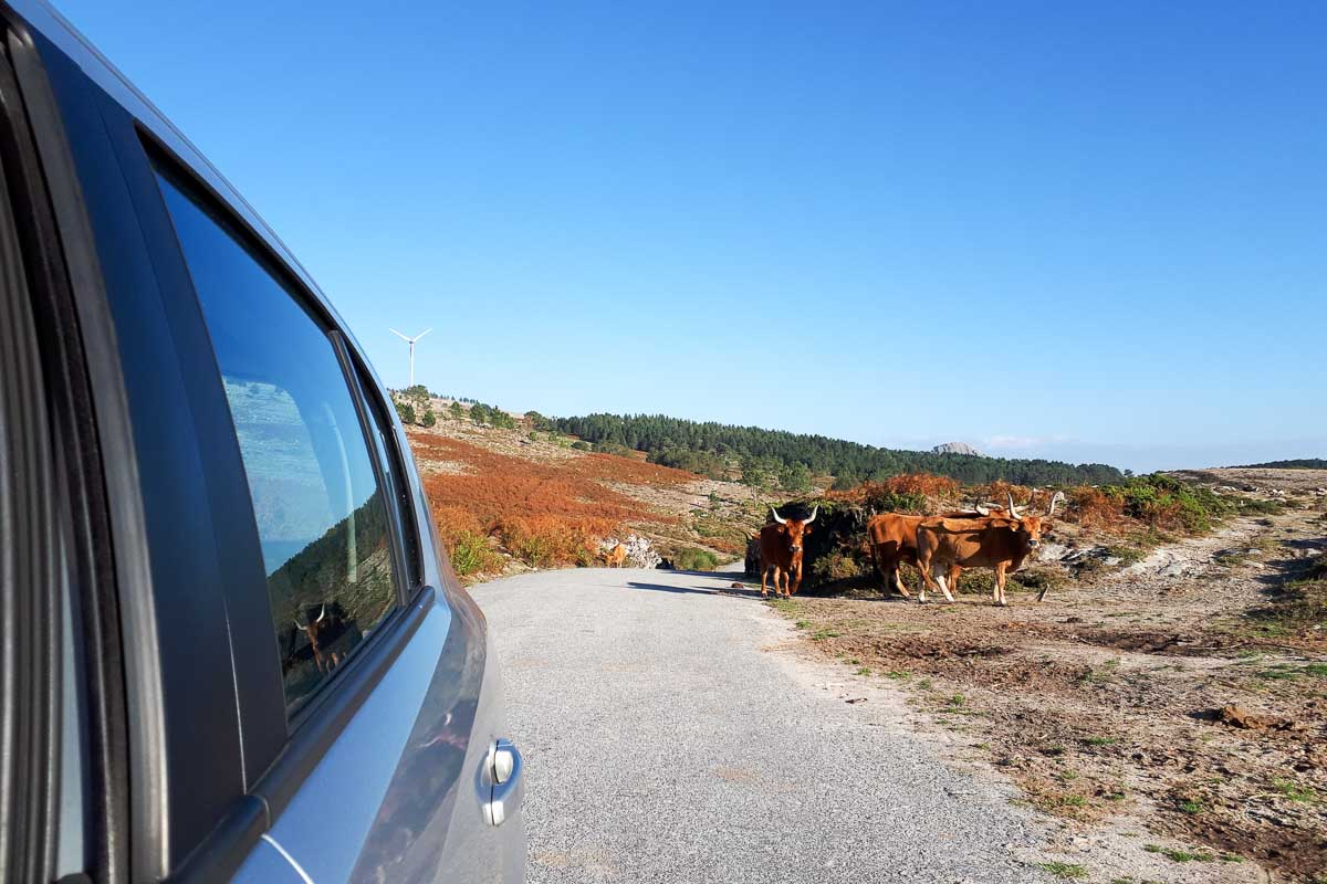 vacas no geres, melgaço